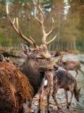 Fullvuxna hankronhjorten för röda hjortar och lismar Royaltyfria Bilder