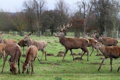 Fullvuxna hankronhjorten för röda hjortar parkerar in land Royaltyfri Fotografi