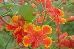 The fully bloom Peacock Flowers. Peacock flower Caesalpinia pulcherrima is a species of flowering plant in the pea family, Fabaceae, native to the tropics and stock image
