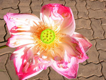 Fully bloom sacred lotus Royalty Free Stock Images