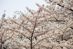 Fully-bloomed άνθη κερασιών σε Shinjuku Gyoen, Τόκιο, Ιαπωνία Στοκ φωτογραφία με δικαίωμα ελεύθερης χρήσης