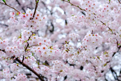 Fully-bloomed cherry blossoms at Gongendo Park in Satte,Saitama,Japan stock photography