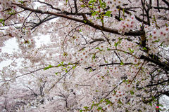 Fully-bloomed cherry blossoms at Gongendo Park in Satte,Saitama,Japan Stock Image