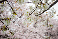 Fully-bloomed cherry blossoms at Gongendo Park in Satte,Saitama,Japan Stock Photos