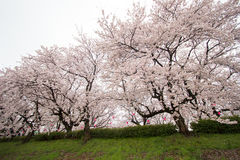 Fully-bloomed cherry blossoms at Gongendo Park in Satte,Saitama,Japan Stock Photo