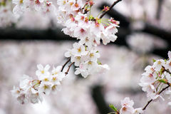 Fully-bloomed cherry blossoms at Gongendo Park in Satte,Saitama,Japan Royalty Free Stock Photos