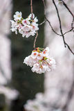 Fully-bloomed cherry blossoms at Gongendo Park in Satte,Saitama,Japan Royalty Free Stock Images
