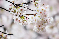 Fully-bloomed cherry blossoms at Gongendo Park in Satte,Saitama,Japan Stock Images