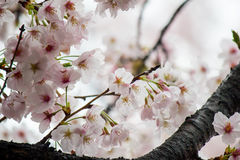 Fully-bloomed cherry blossoms at Gongendo Park in Satte,Saitama,Japan Royalty Free Stock Image