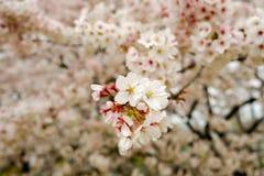 Fully-bloomed cherry blossoms at Kumagaya Arakawa Ryokuchi Park in Kumagaya,Saitama,Japan. Stock Photo