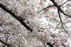 Fully-bloomed cherry blossoms at Kumagaya Arakawa Ryokuchi Park in Kumagaya,Saitama,Japan. Royalty Free Stock Photography