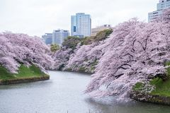 Fully-bloomed cherry blossoms pouring into Chidorigafuchi moat,Chiyoda,Tokyo,Japan in spring. Stock Photo