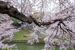 Fully-bloomed cherry blossoms pouring into Chidorigafuchi moat,Chiyoda,Tokyo,Japan in spring Royalty Free Stock Images