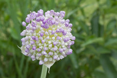 Fully Bloomed Leek. Beautiful fully blooming leek flower on a hot summer day with green leafy background Stock Images