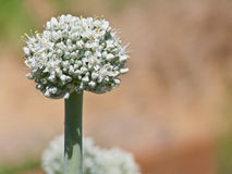 Fully Bloomed Leek Flower Stock Image