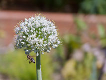 Fully Bloomed Leek Flower With Bee. Beautiful fully blooming leek flower on a hot summer day being buzzed by a bumble bee Royalty Free Stock Photos