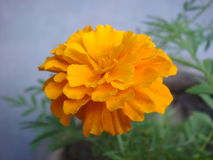 Fully bloomed marigold flower photo. Picture of Fully bloomed marigold flower royalty free stock images