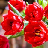 Fully bloomed red tulips, petals of a close up tulips. Selective. Focus. Square. Close-up Stock Photo