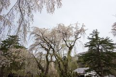 Fully bloomed weeping cherry blossomsshidarezakura at Samurai District of Kakunodate,Akita,Tohoku,Japan in spring. The city of Kakunodate is famous for its Stock Photo