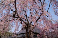 Fully bloomed weeping cherry blossomsshidarezakura at Samurai District of Kakunodate,Akita,Tohoku,Japan in spring. The city of Kakunodate is famous for its stock photos