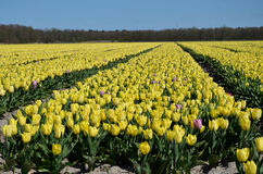 Fully bloomed Yellow tulip fields. Sunny day with a forest in the background Royalty Free Stock Photography