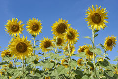 Fully Blossom Sunflower Field in Lopburi Thailand Stock Image