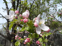 Fully blossomed apple tree. In the garden Stock Image