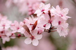 Fully blossomed fresh cherry branch.  Royalty Free Stock Images