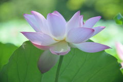 A fully blossomed lotus flower Royalty Free Stock Photo