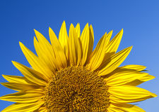 Fully blossomed sunflower Stock Photo