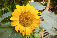 Fully blossomed sunflower in the garden stock image