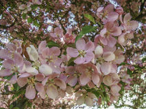 Fully blossoming crab apple tree. I found this amazing fully blooming crab apple tree in the backyard. I couldn& x27;t help but grab my camera and took the close royalty free stock images