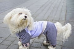 Fully dressed Bichon frise. Outdoors Royalty Free Stock Image