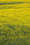 Fully flowered field, yellow flowers. Full spring natural background Royalty Free Stock Photo