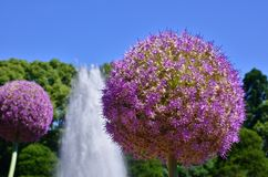 Flowering giant onion. Fully flowering giant onion under clear blue sky at a garden royalty free stock images