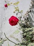 Fully grown beautiful pink rose stock image