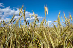 Fully grown grain Stock Images