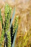 Fully grown grain Royalty Free Stock Photos