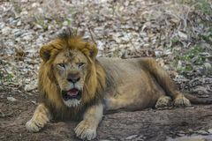 Male Lion - resting amid treeshade / foliage. Fully grown Male lion - resting under the shades of a tree stock photos