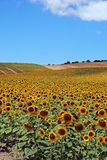Sunflower field, Andalusia, Spain. Stock Image