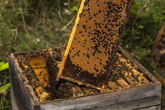 Fully honeycomb of honey removed from the old hive Stock Photo