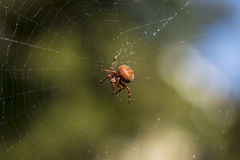 Fully Mature Spider in Web on lovely Fall Day Stock Photography