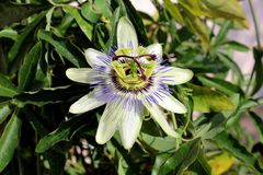 Fully open blooming beautiful unusual Passion fruit or Passiflora edulis flower surrounded with dark green thick leaves growing in stock image