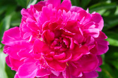 Fully open dark pink peony blossom. In all its glory Royalty Free Stock Photos