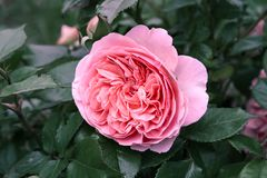 Fully open, gently pink with many shades lovely flower English rose plants. Beautiful extraordinary live flower English rose, blooming and pleasing to the eye a royalty free stock images