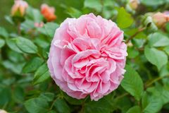 Fully open, gently pink with many shades lovely flower English rose plants. Beautiful extraordinary live flower English rose, blooming and pleasing to the eye a stock image
