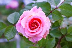 Fully open, gently pink with many shades of lovely rose flower plant. Beautiful unusual live rose flower, blooming and pleasing to the eye a pleasant combination royalty free stock photos