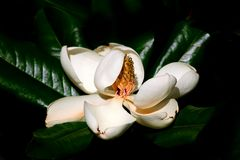 Fully open magnolia tree flower. The beautiful flower of the magnolia tree is fully open and showing the first signs of ageing Royalty Free Stock Image