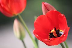 Fully Open Red Tulip Bulb with Yellow and Black Center Stock Images