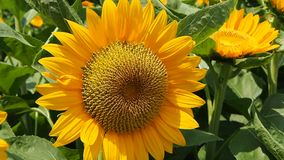 Fully open sunflower with large petals stock footage